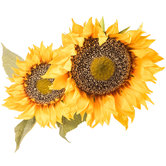 Giant Yellow Gold Sunflower Stem